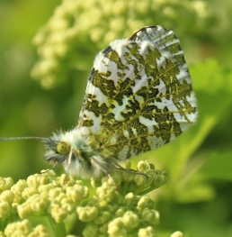 The camouflaged under-wing of an Orange Tip Butterfly