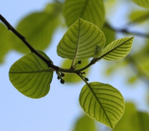 Leaves of the Alder Buckthorn