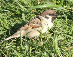 Tree Sparrow- showing brown cap and black cheek-spot of both male and female