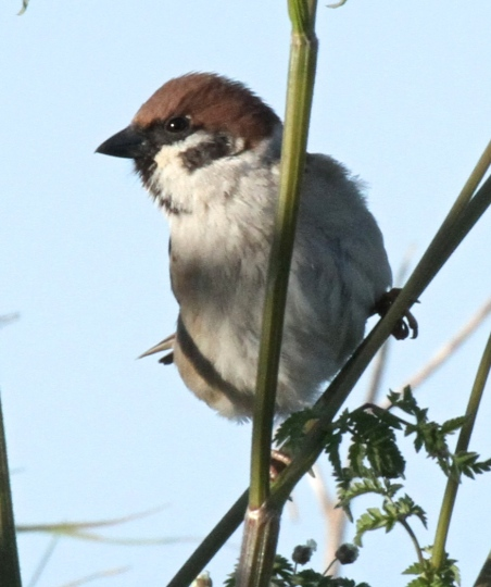 Tree Sparrow in typical pose