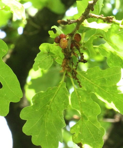 Currant Galls growing on our Oak tree