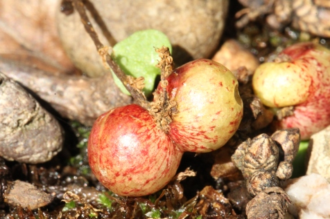 Closeup of the Currant Galls.