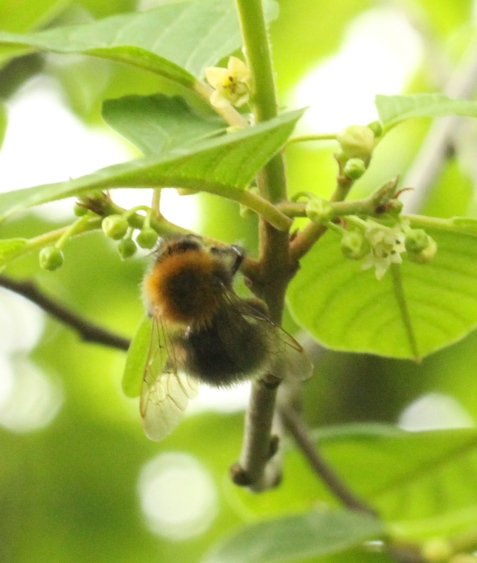 Carder Bee, one of many insects feeding on the Alder Buckthorn today