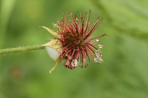 Seed head of the Wood Avens, or Herb Bennet.