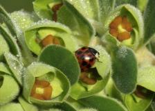 A Harlequin Ladybird on a Euphorbia flower.