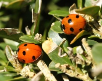 Two seven-spot native Ladybirds photographed in the Cotswolds this year.