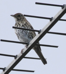 Talking of thrush, this one has been using next doors TV aerial as a singing post for a few evenings.