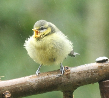 Fluffed up against the cold and wet, a newly fledged Blue Tit calls for food.