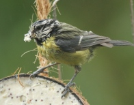 One of its ragged adults fills its beak with fat to feed the young.