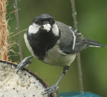 A newly-fledged Great Tit also awaits feeding.