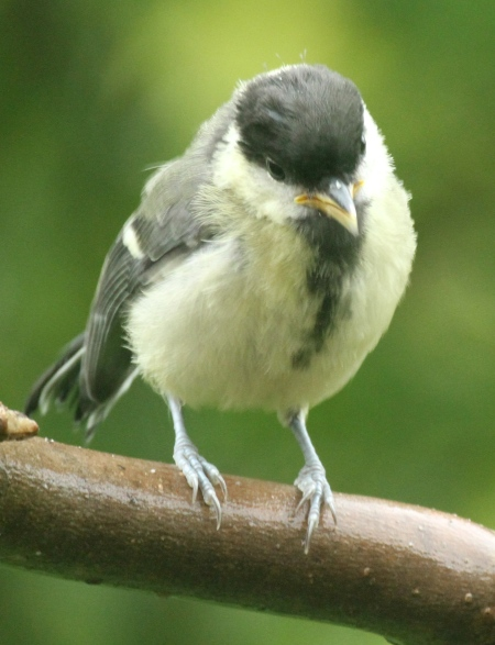 The newly fledged Great Tit awaits its food!