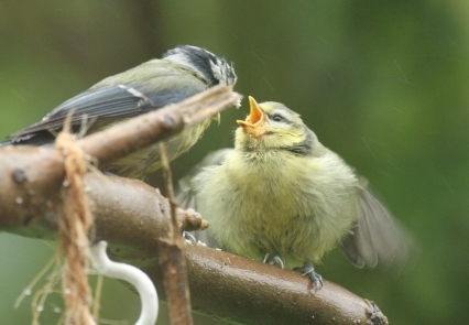 A successful young Blue Tit about to be fed!