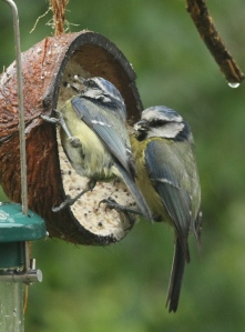 A pair of Blue Tits work hard to find food for their fledglings today.