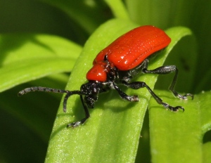 An adult Lily Beetle