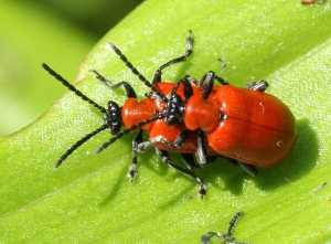 Mating Lily Beetles.