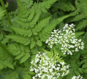 Sweet Cicely in flower in the garden.