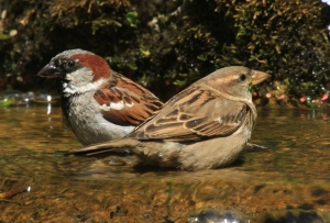 As a comparison, a male Grey cap) and female House Sparrow