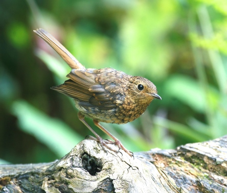 Young Robin in the garden,  just beginning to gain it's red breast.