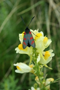 Adult Six-Spot Burnet Moth, which can be confused with the Cinnabar