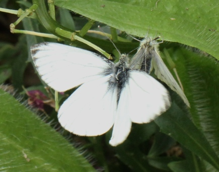 Male Green-veined White attempting to ate with a female which has already mated.