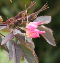 Rosa Glauca buds