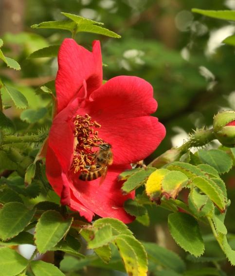 Rosa Moyesii Geranium flower, with feeding honey bee