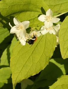 Bumble Bee on a Philadelphus flower.