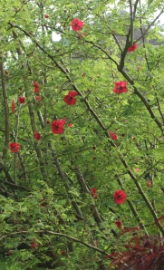 The flowers beginning to come out along the arching stems of Rosa Moyesii 'Geranium'.