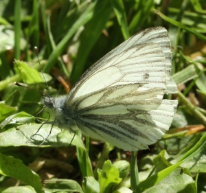 Green-veined White Butterfly with proboscis unfurling, like an uncoiling spring.