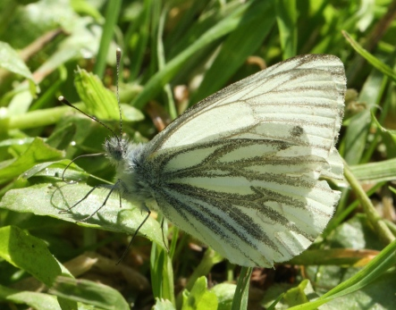 Green-veined White drinking dew this morning.