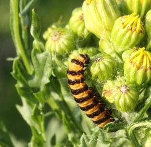 Cinnabar Moth caterpillar.