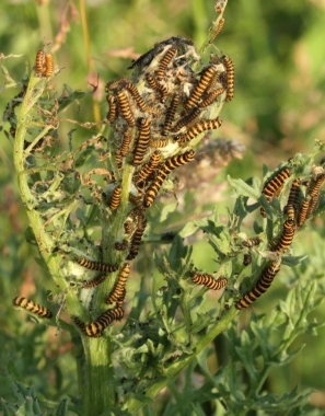 Mass of Cinnabar caterpillars, showing the paler recently hatched and the older, yellow and black ones.