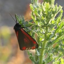 Adult Cinnabar Moth
