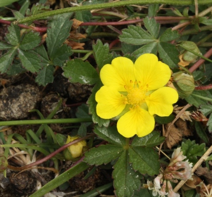 Cinquefoil, with five petalled flowers and five fingered leaves.