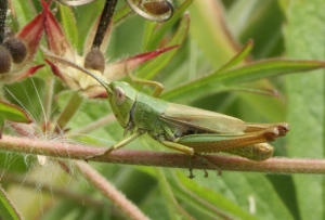 Meadow Grashopper