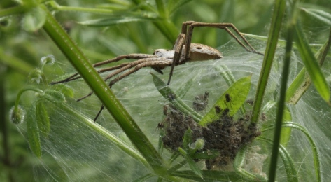 Nursery Web female guarding her spiderlings in the web-tent.