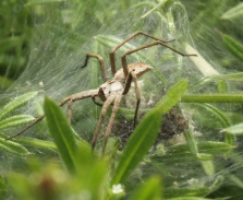 Female Nursery Web Spider.