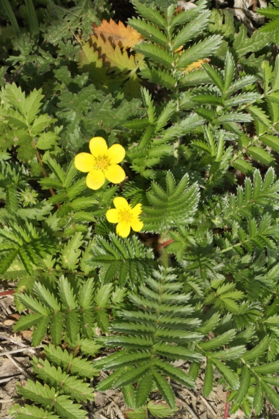 Silverweed. with five-petalled flowers and long leaves, always silver-backed and sometimes silver fronted.