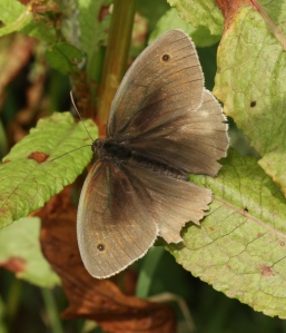 Male Meadow Brown butterfly.
