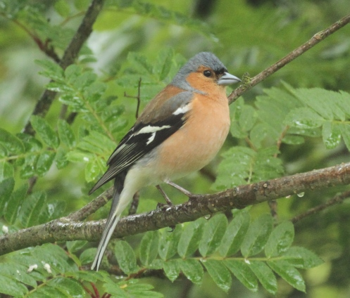 Male Chaffinch in bright summer plumage.