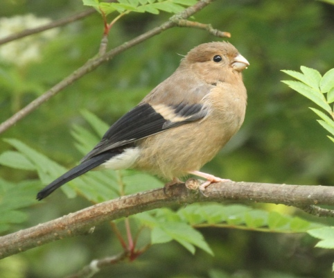 Juvenile Bullfinch. Male and female juveniles have the same plumage until the first moult.