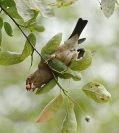 A juvenile Bullfinch feeding on Amelanchier berries.