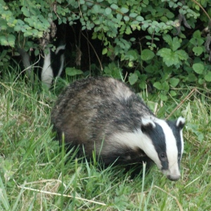 Badger out about 9 p.m. last night.