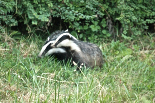 The two Badgers together.