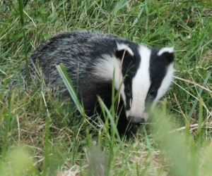 The younger, bolder Badger.