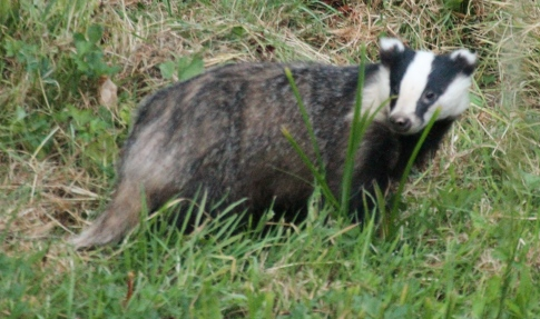 The larger, probably an older male Badger.