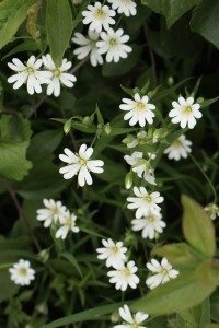 Greater Stitchwort, a wild flower I love having in the garden.
