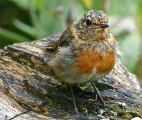 The red breast of the young Robin becoming more prominent.