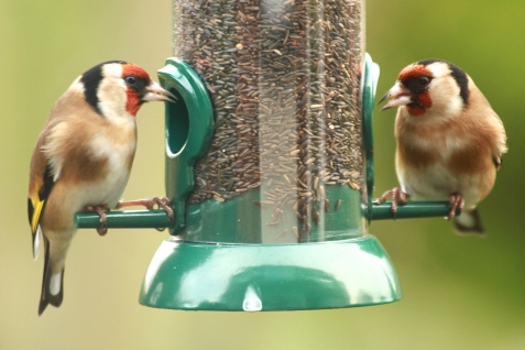 Male and female Goldfinches often feed together.