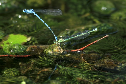 The male (blue) and female (greenish) Common Blue Damselfly in tandem position, during pairing (They can fly in this position).